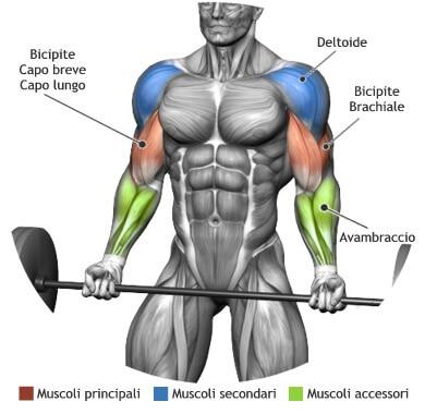 mappa muscolare bicipiti curl bilanciere in piedi