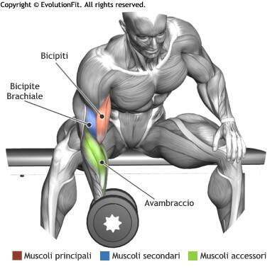 mappa muscolare bicipiti concentrato seduto panca piana