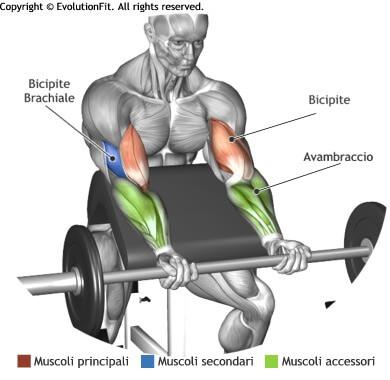 mappa muscolare bicipiti curl panca scott bilanciere