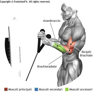 mappa muscolare bicipiti hammer corda