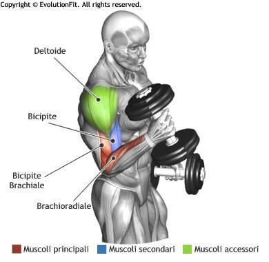 mappa muscolare bicipiti hammer curl manubri