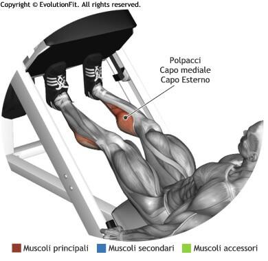 mappa muscolare polpacci calf pressa 45