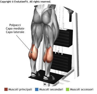 mappa muscolare polpacci standing calf machine