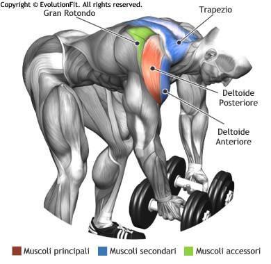 mappa muscolare spalle alzate laterali manubri busto piegato
