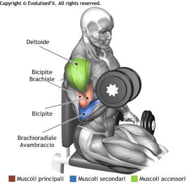 mappa muscolare bicipiti curl bicipiti seduto alternato manubri
