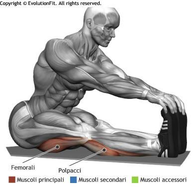 mappa muscolare stretching flessione anca seduto gambe tese