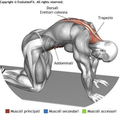 mappa muscolare stretching posizione del gatto