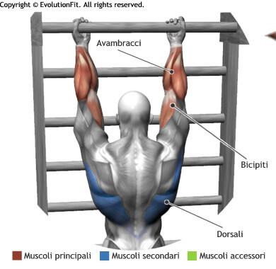 mappa muscolare stretching sospensione alla sbarra in supinazione